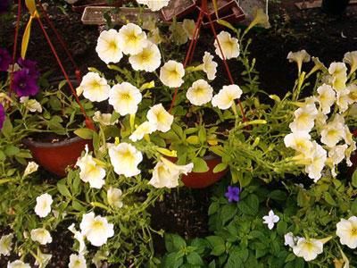 Productie flori. Poza 401
