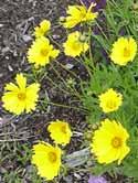 Coreopsis sunray - coreopsis -