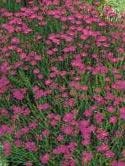 Dianthus deltoides - garofite perene -