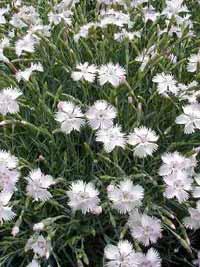 Dianthus plumarius - garofita -