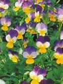 Viola cornuta - toporasi -