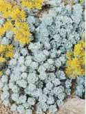 Sedum sp. - sedum diverse specii -