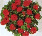 Pelargonium peltatum - muscate -