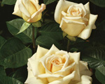 MEILLAND Jardins de Bagatelle (flori grupate)