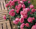 MEILLAND Leonard de Vinci (flori grupate)