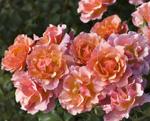 MEILLAND Jean Cocteau (flori grupate)