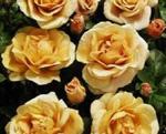 Poulsen Floribunda- soiul Jubilee