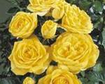 Poulsen Compact Floribunda soiul Duke of Edinburgh