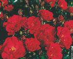 KORDES soiul Rotilia (flori grupate in buchete)