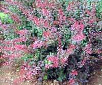 Berberis thumbergii - dracila -