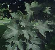 Acer pseudoplatanus - artar -